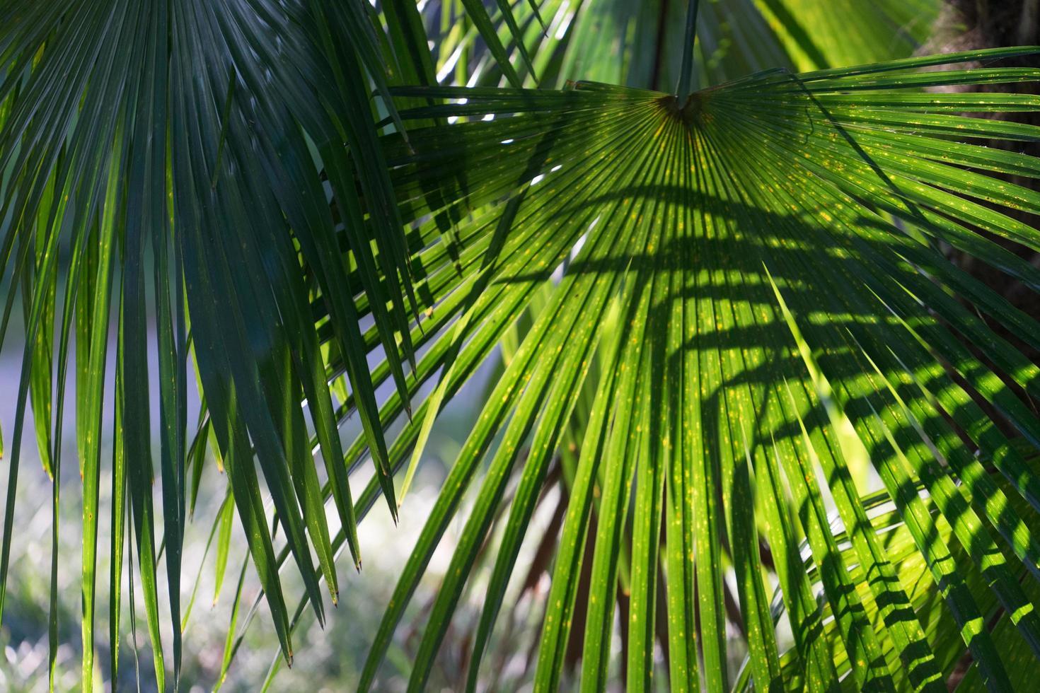 naturlig bakgrund med fläkt palmblad i en ljus solig sommardag foto