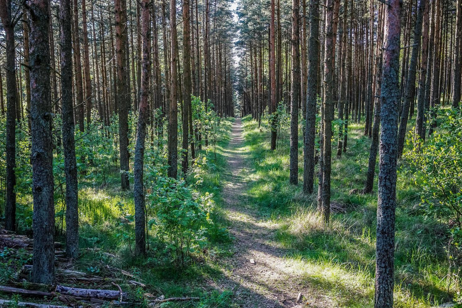 landskap med tallar på en solig dag foto