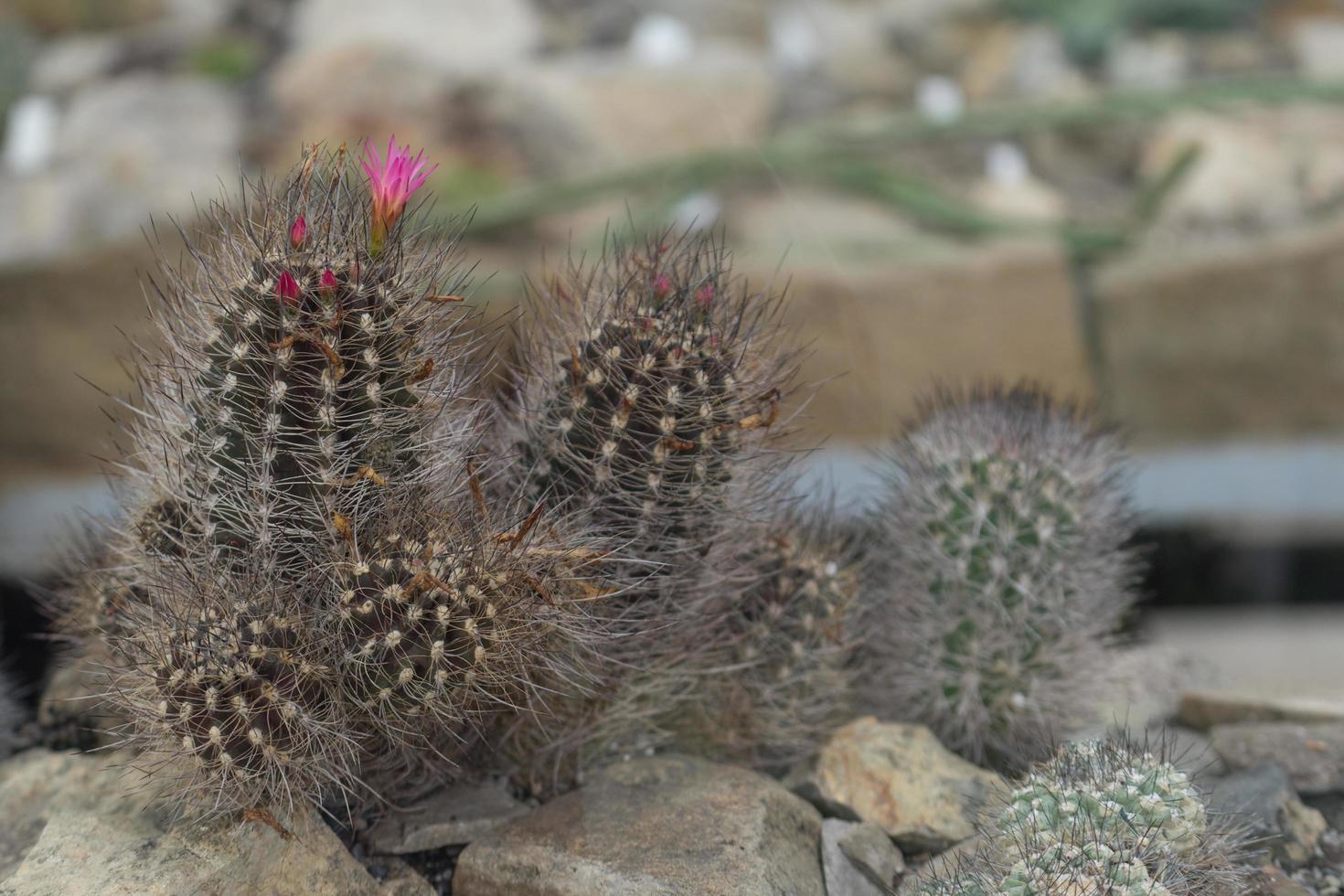 mamillaria kaktus med rosa blommor på en bakgrund av stenar foto
