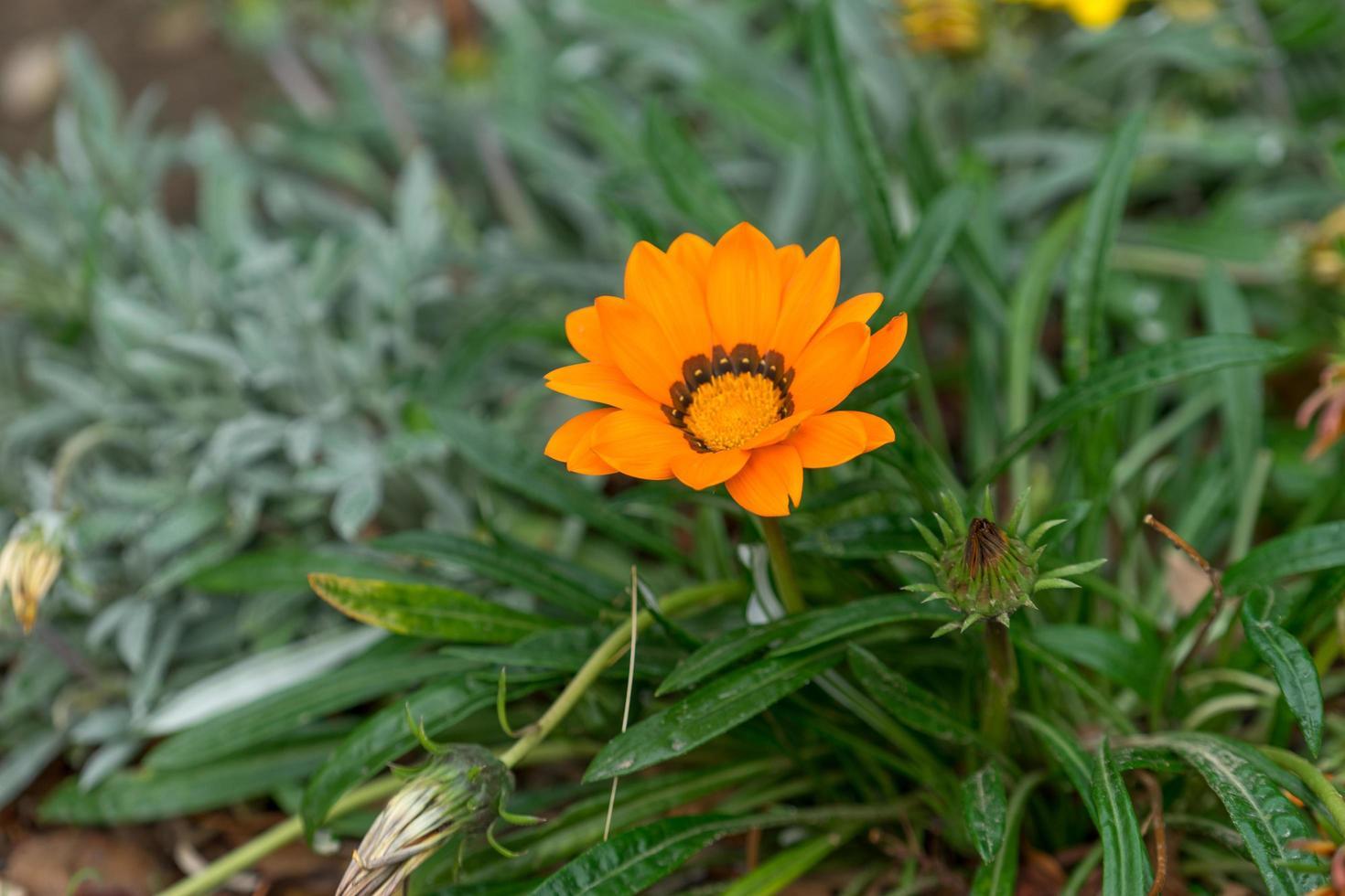 orange blomma av ringblomma på en bakgrund av gröna blad foto