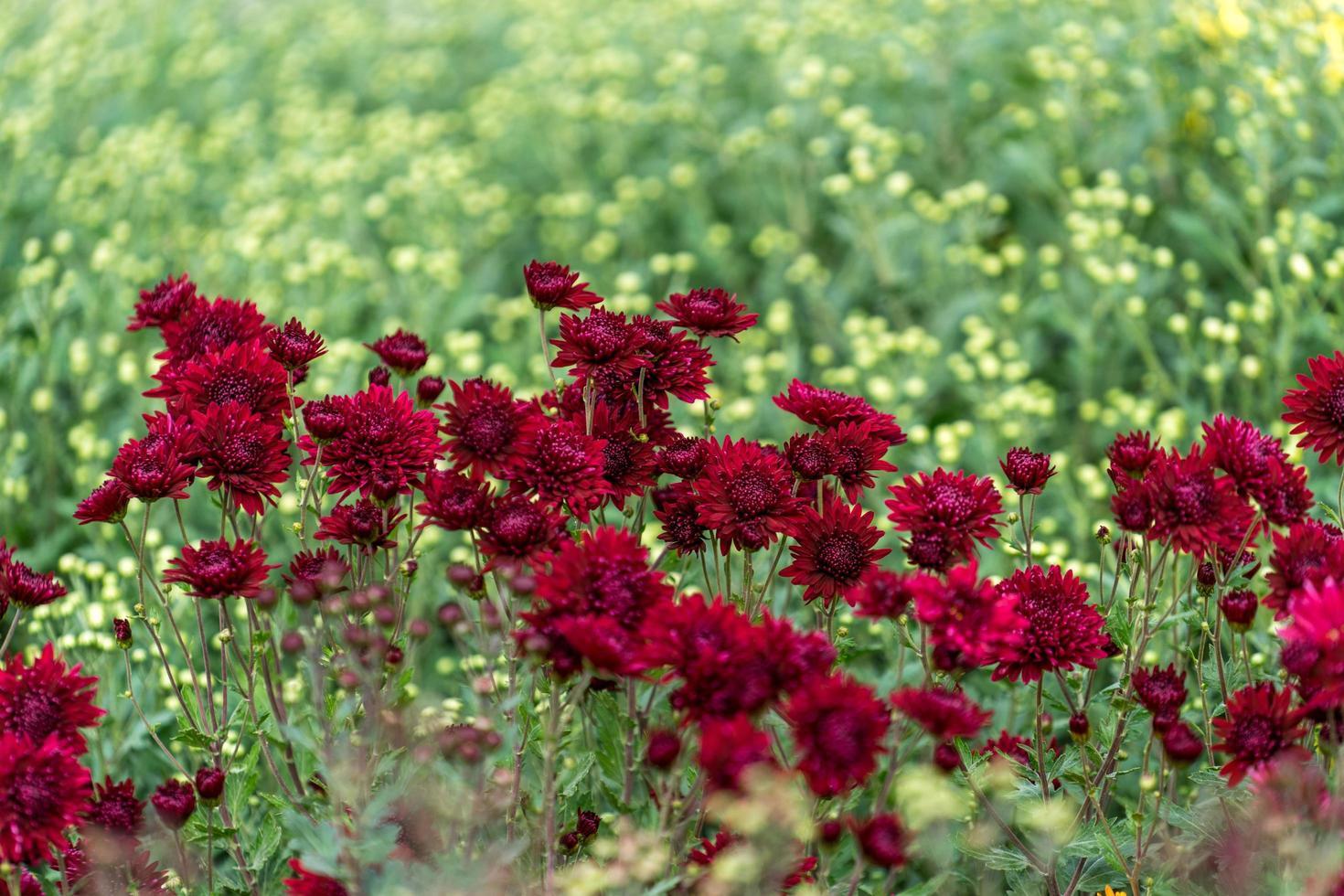 blommig bakgrund med en vacker vinröd krysantemum foto