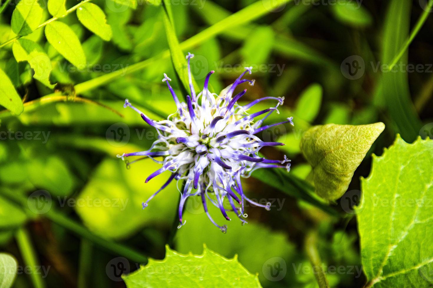 blå raponzolo phyteuma blomma foto