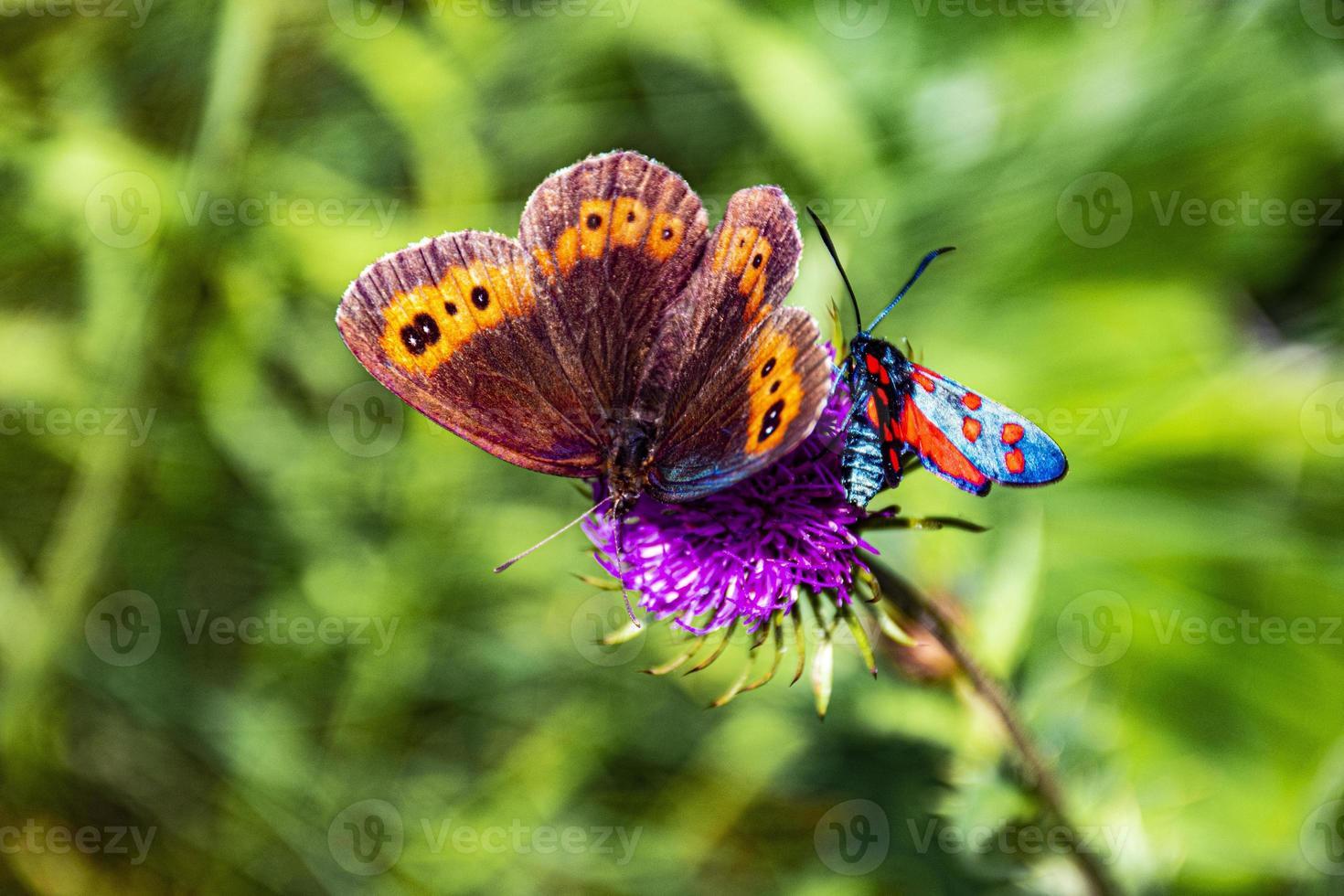 två fjärilar på en blomma foto