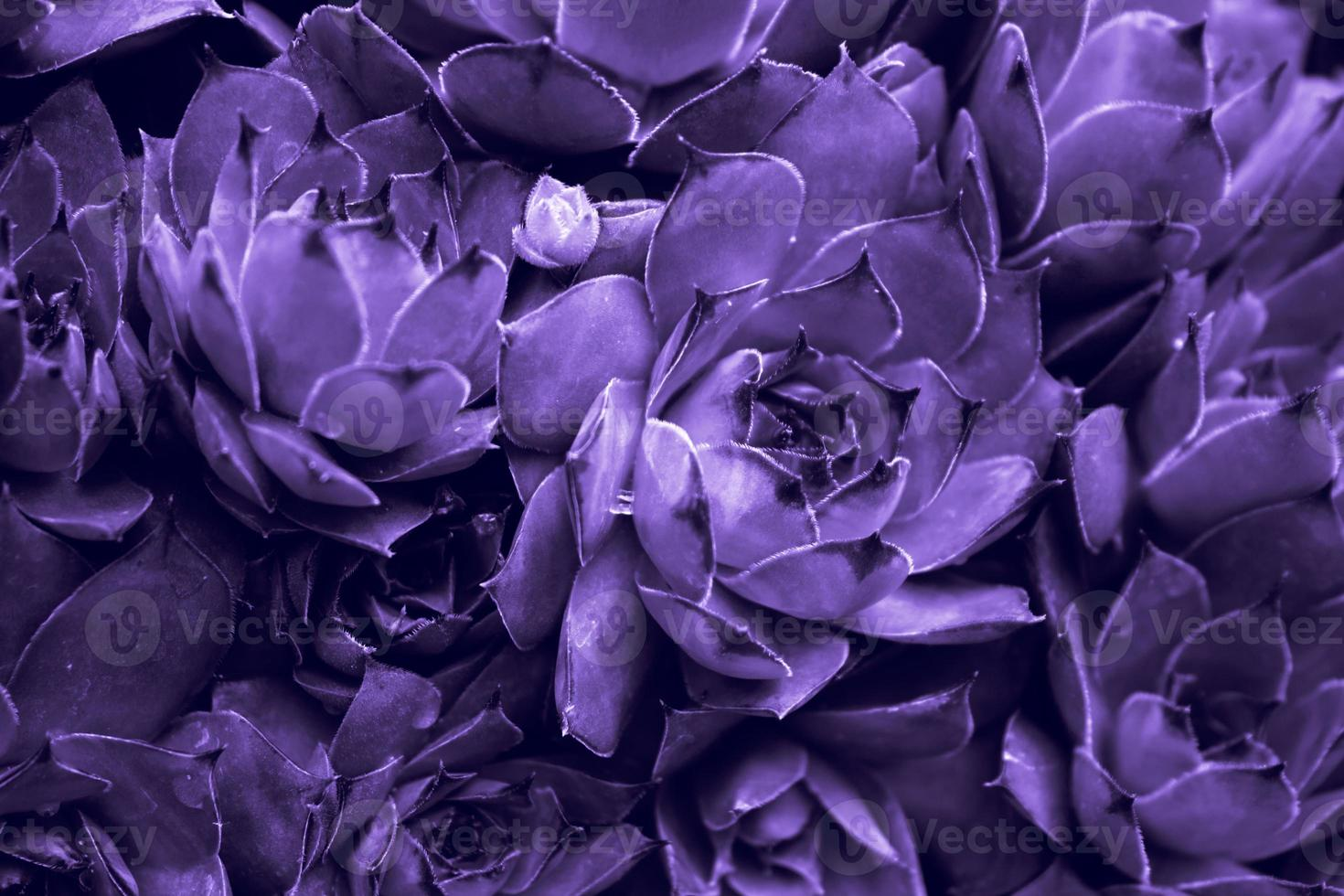 ultraviolett abstrakt bakgrund - närbild av sempervivum calcareum-houseleek, målad i ultraviolett färg foto