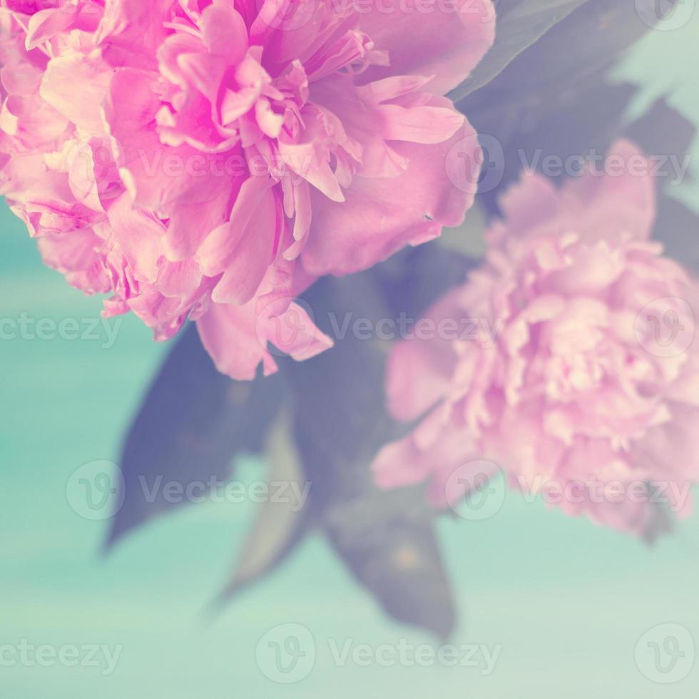 rosa pionblommor på blå bakgrund pastellfärger blommig bakgrund foto