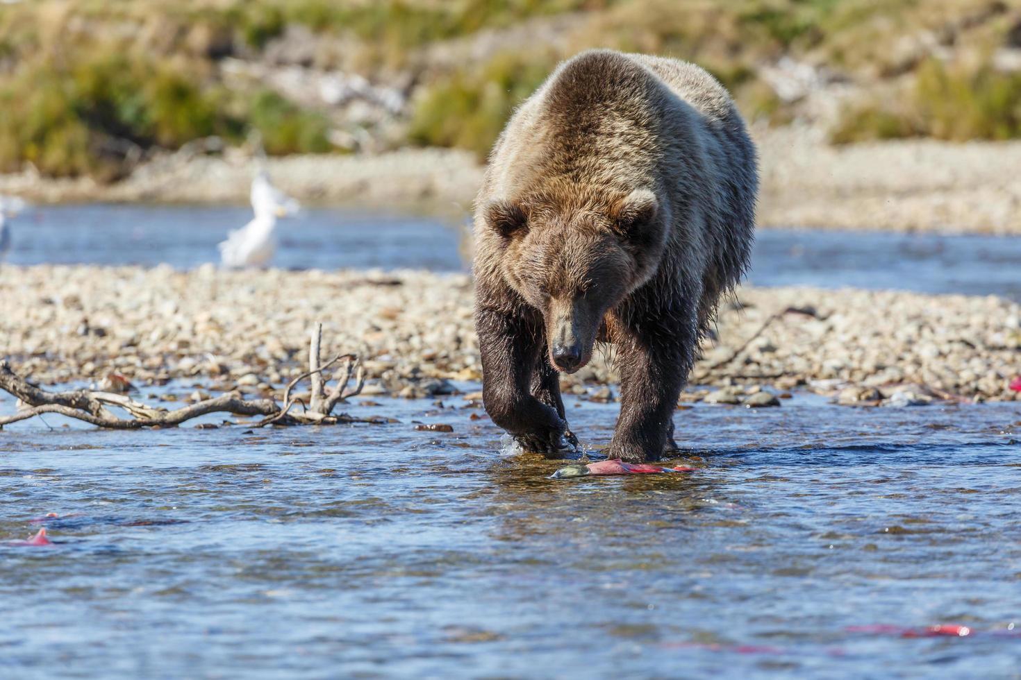 grizzle björn i naturen av alaska foto