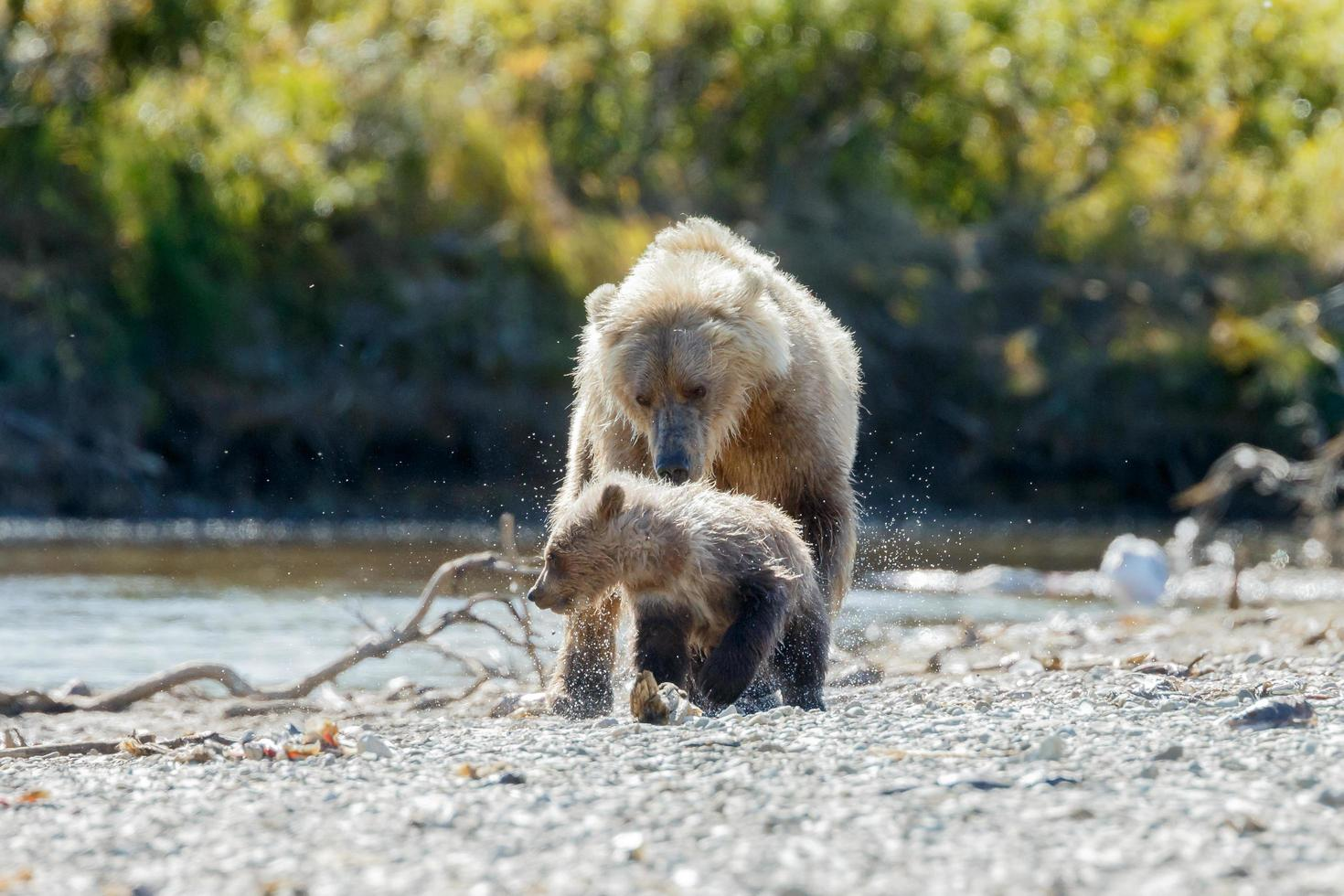 grizzlybjörn i alaskans natur foto