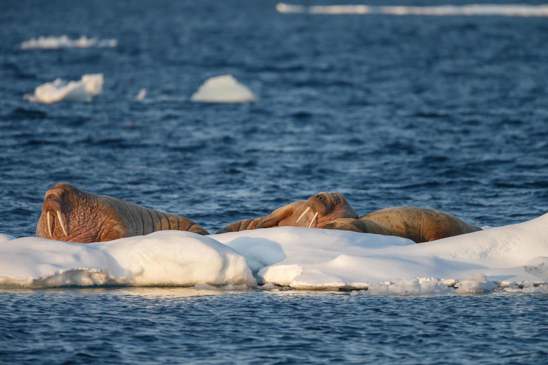 valross i norra världen vid spitsbergen. foto