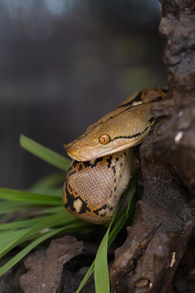 boa porträtt, boa constrictor orm på trädgren foto