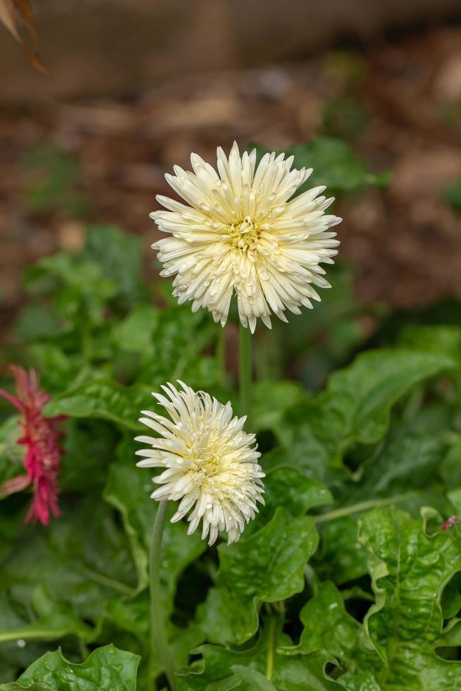 barberton daisy, gerbera daisy blomma i blommaträdgården. foto