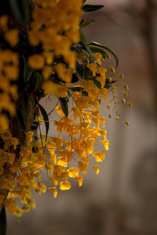 dendrobium lindleyi steud. vacker gyllene orkidé i norra Thailand foto