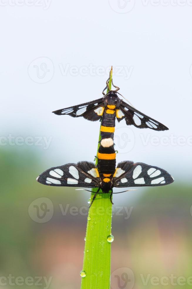 två daggiga fjärilar parar sig foto