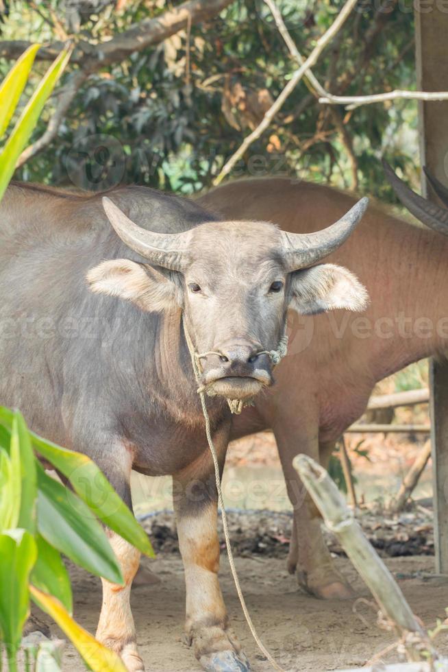 buffel i Thailand, växtförgrund. foto