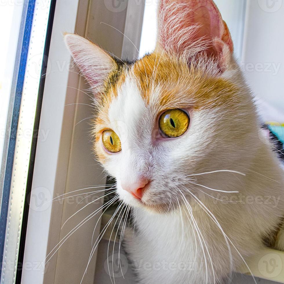 katten tittar nyfiken ut på gatan. tricolor katt. foto