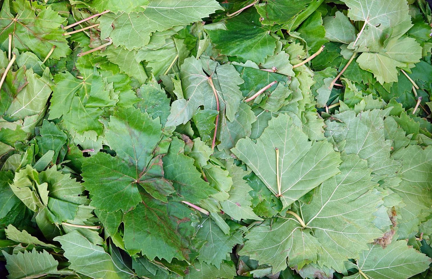mullbärsblad för att göra turkisk mat sarma dolma foto
