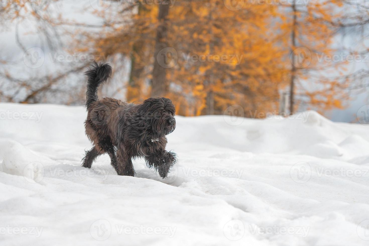 herdehund går i snön på hösten foto