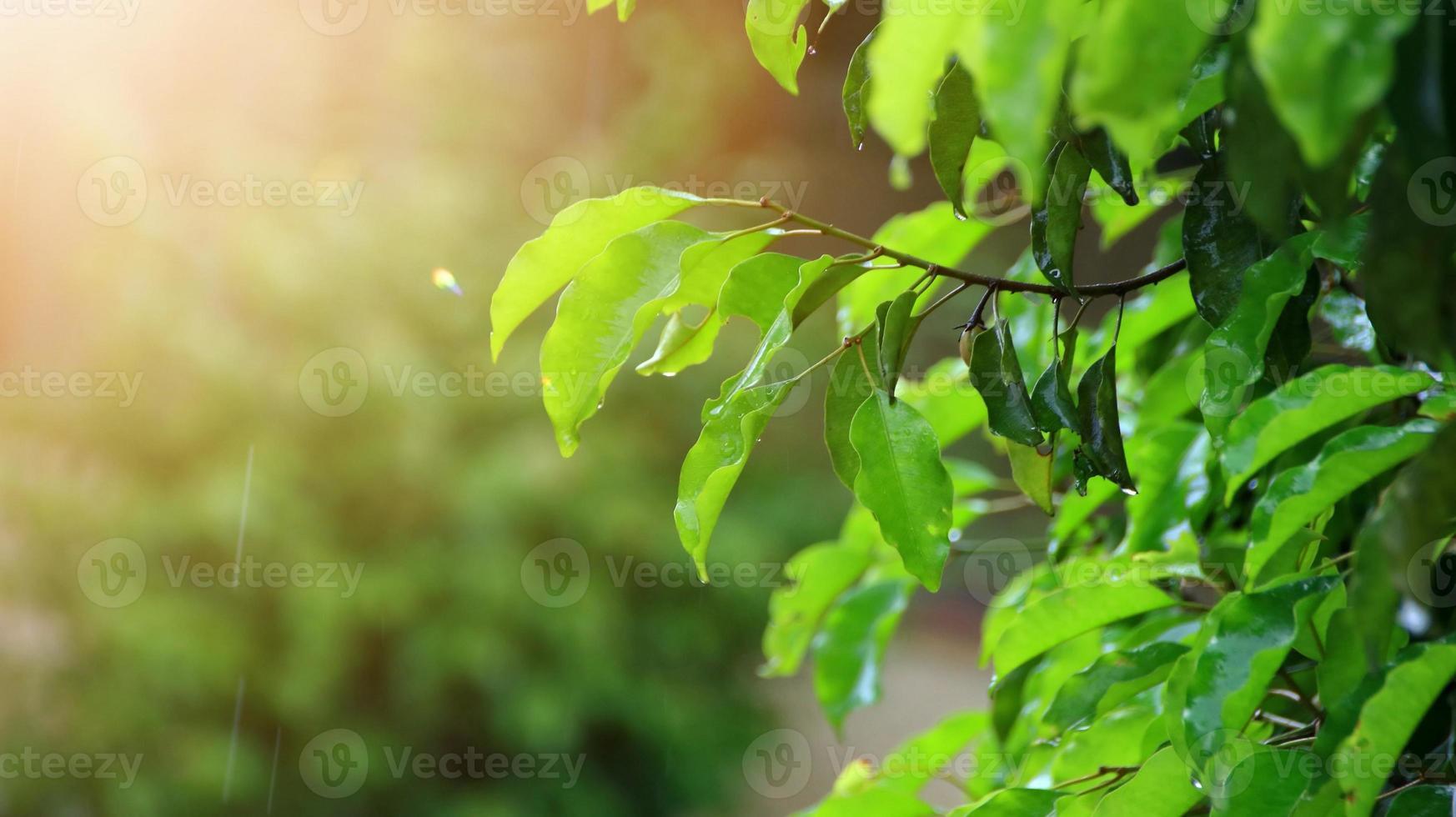trädet lämnar blött efter att ha utsatts för regn på morgonen foto