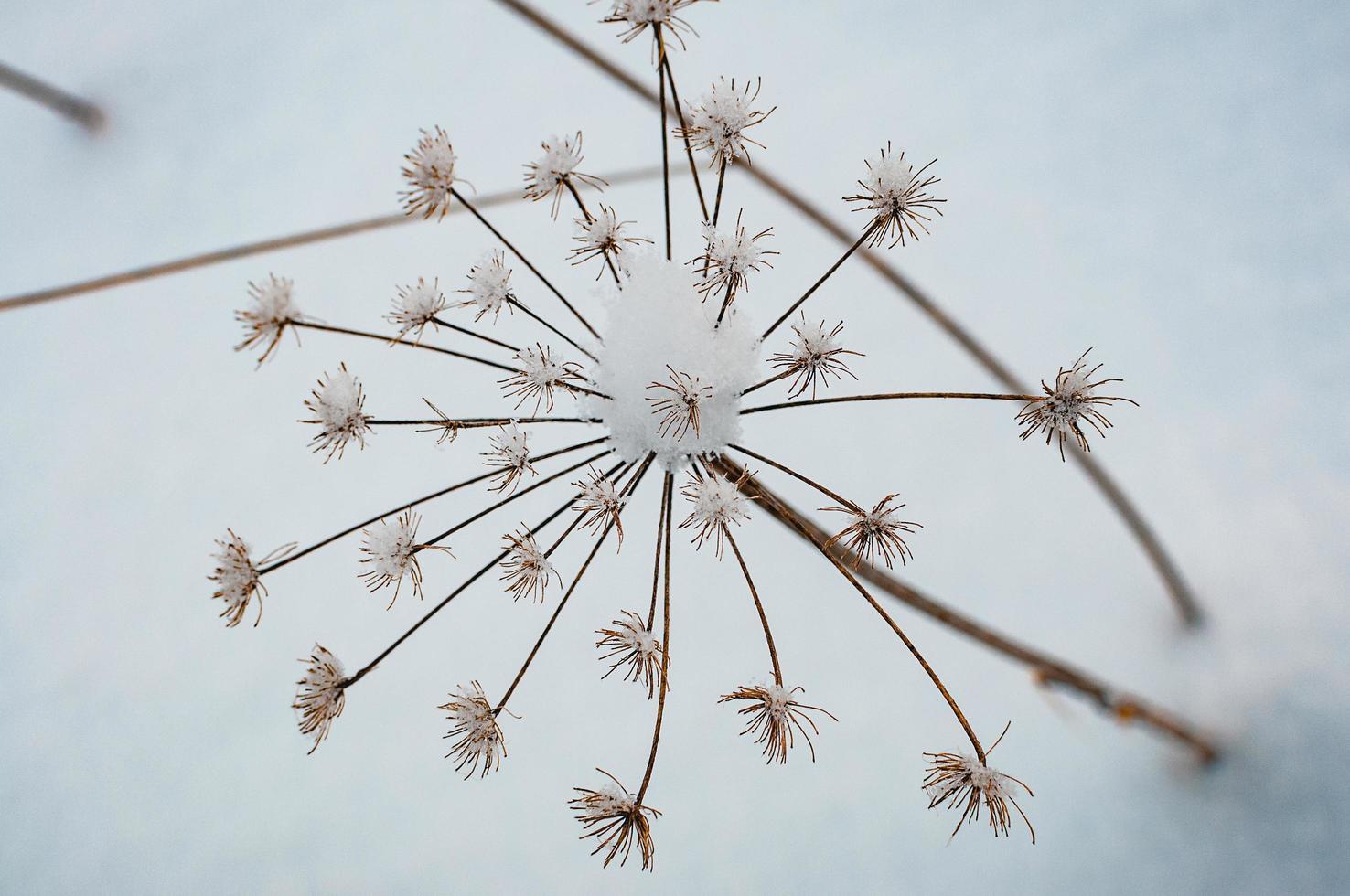 vilt torrt gräs mot snön foto