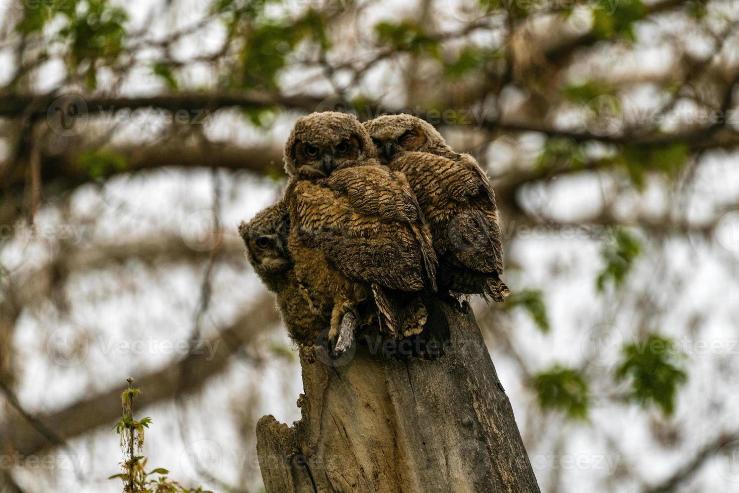 tre ugglor i ett träd foto