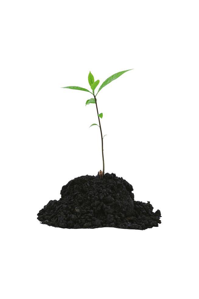 planta av ett träd som kommer från en hög på en vit bakgrund. foto
