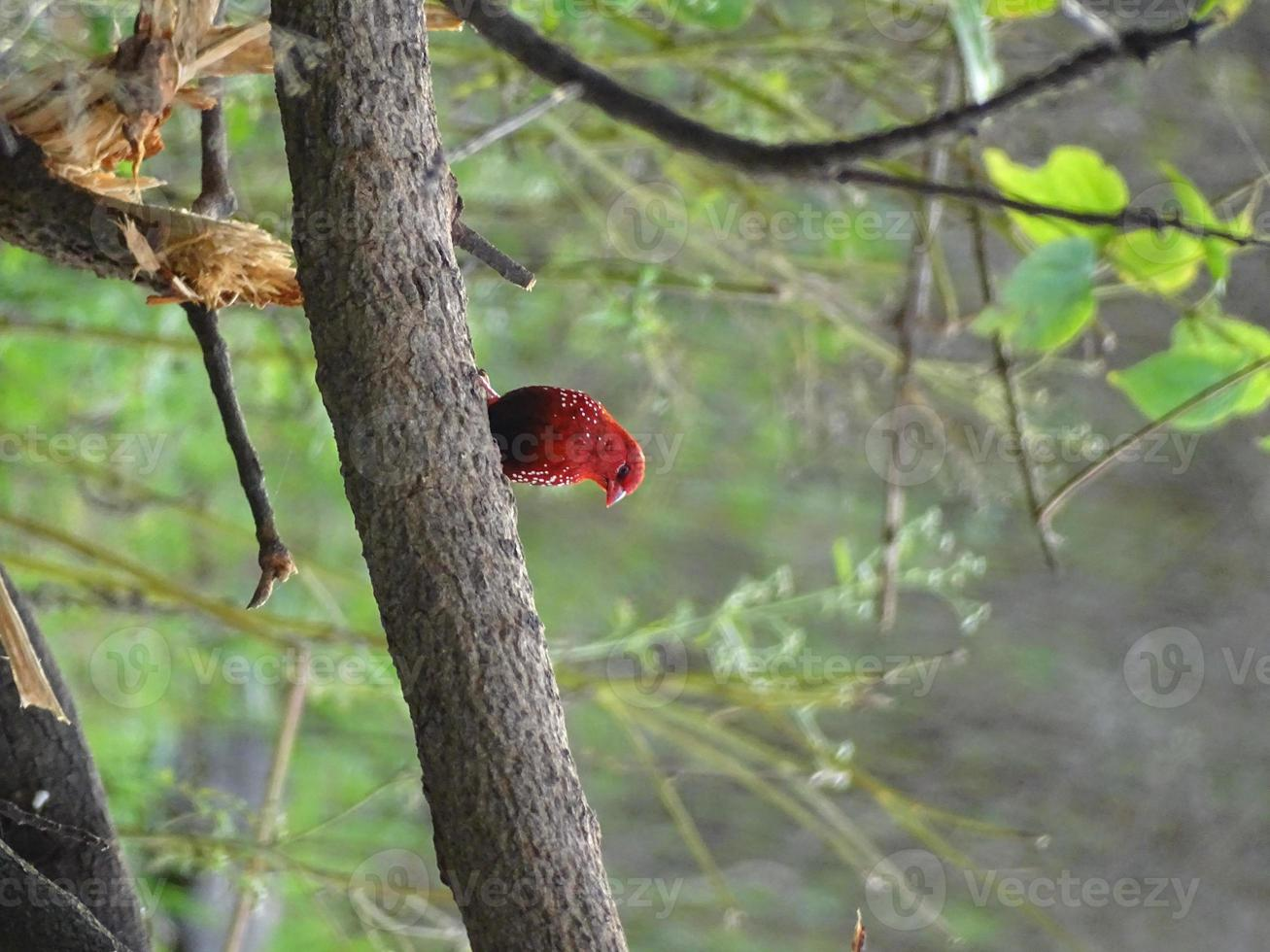 jordgubbsfinkfågel foto