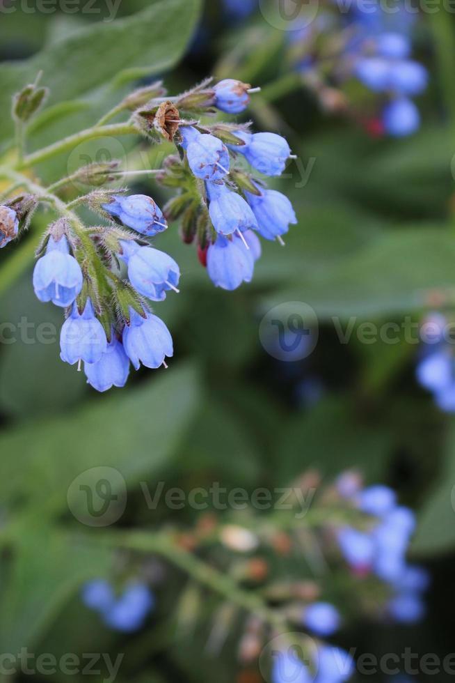 en gren av blå blommor på ett gräs i bakgrunden foto