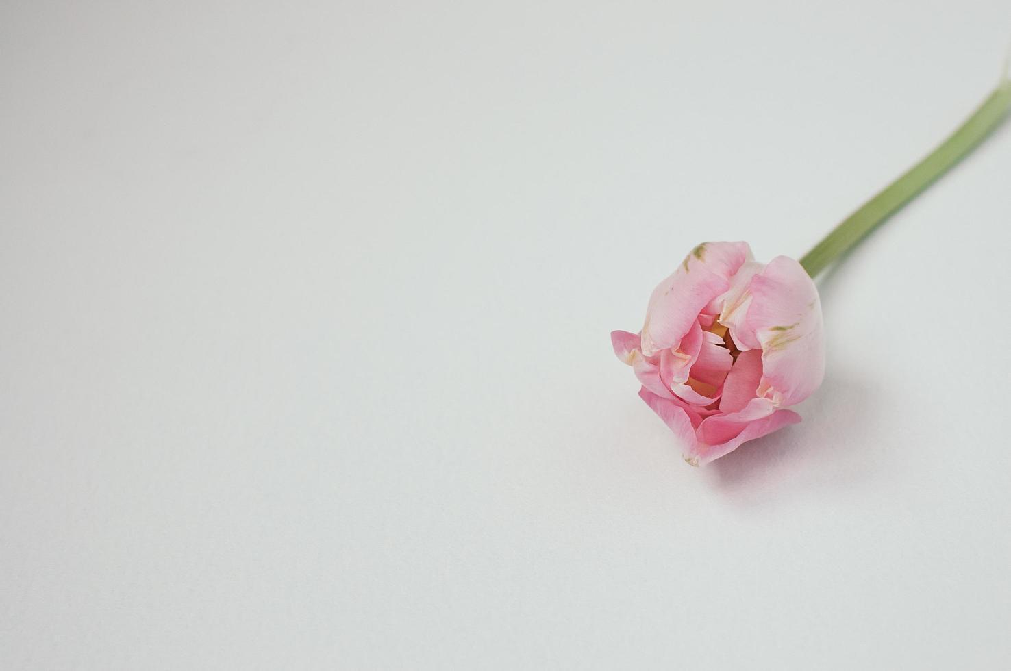 närbild av rosa enda tulpan på vit bakgrund, copyspace foto