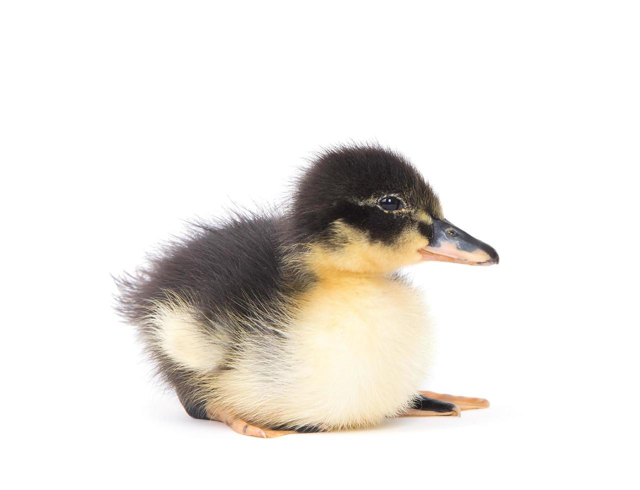 söt liten nyfödd fluffig ankung foto