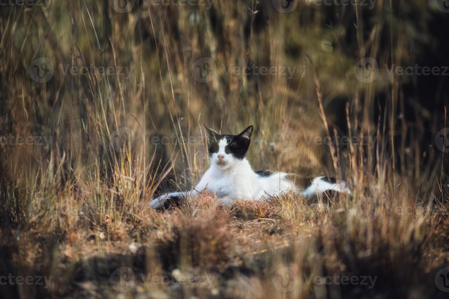 huskatt, svartvitt katt som ligger på ängen, slumrar och lyssnar på sin omgivning. foto