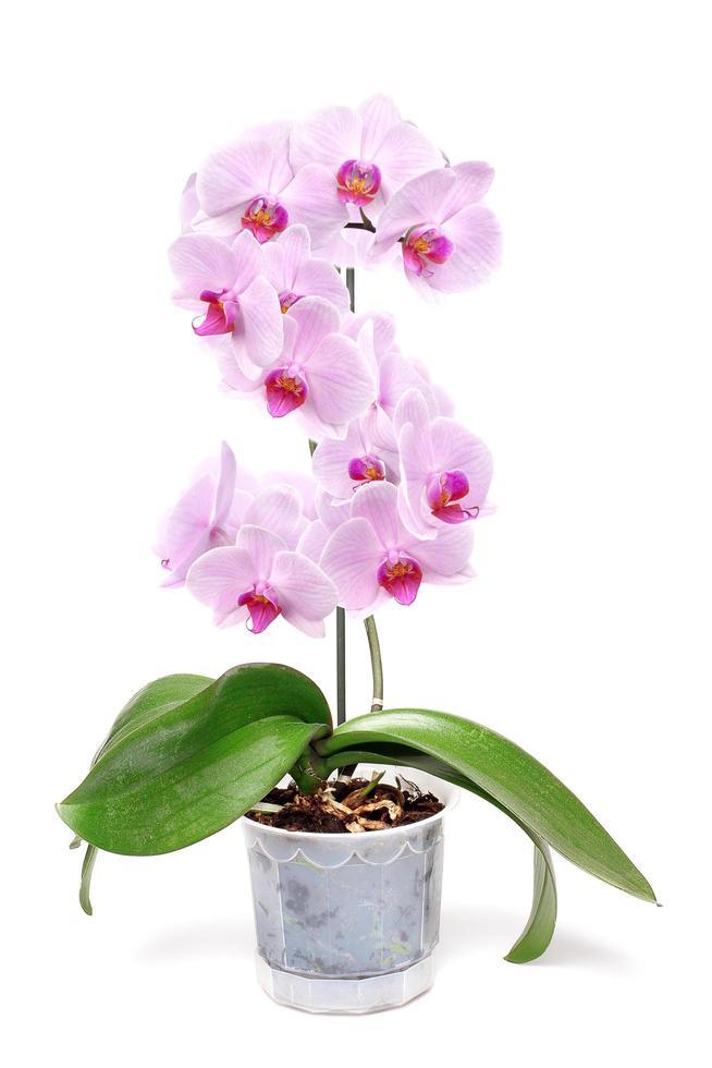 rosa orkidé på vit bakgrund foto