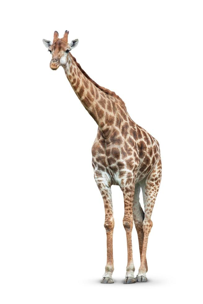 giraff på vit bakgrund foto