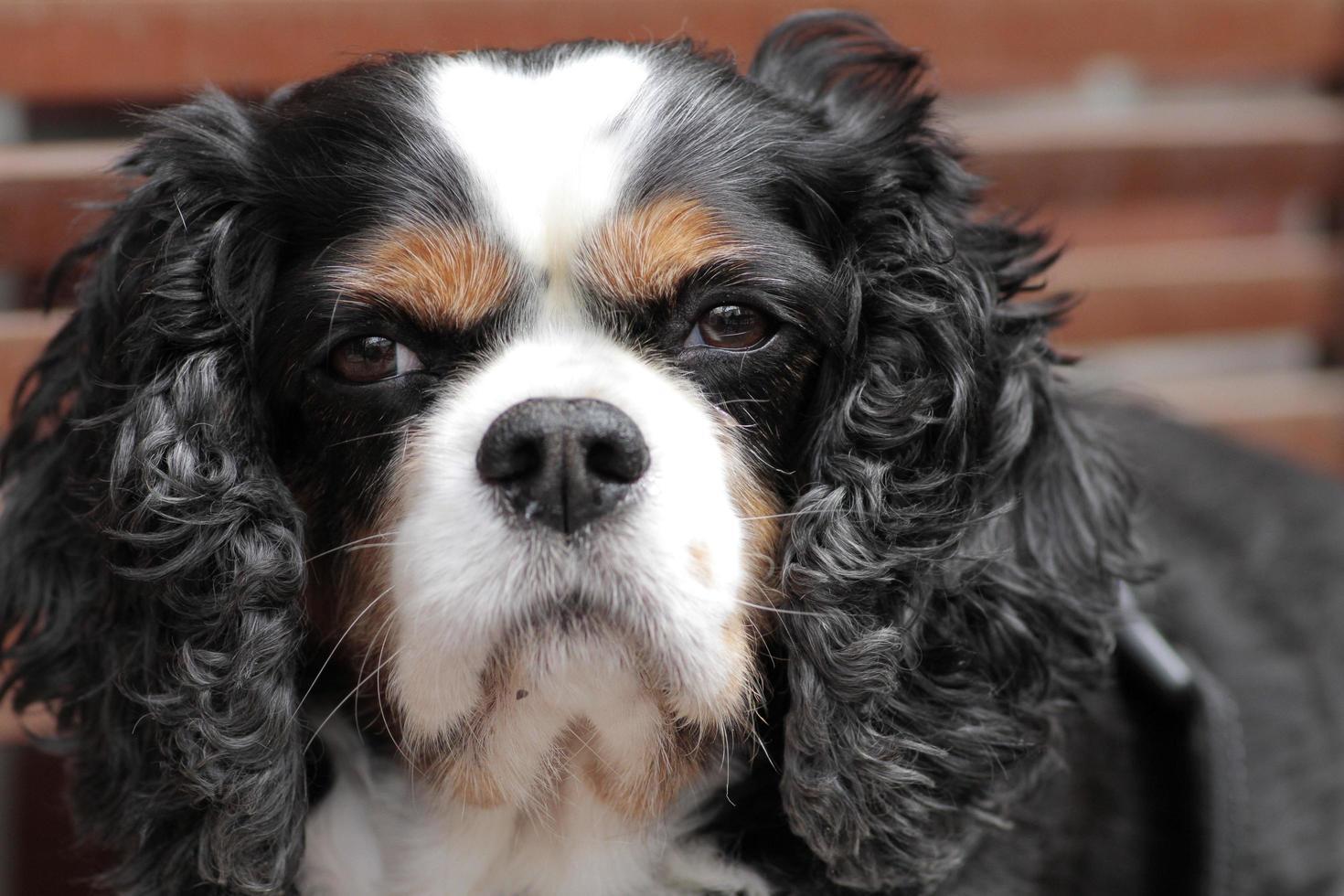 king charles typ långörad, tam hemhund foto