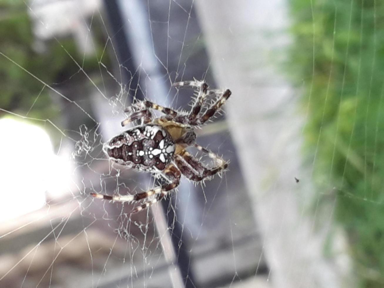 en spindel som väntar på sitt byte i sitt nät foto