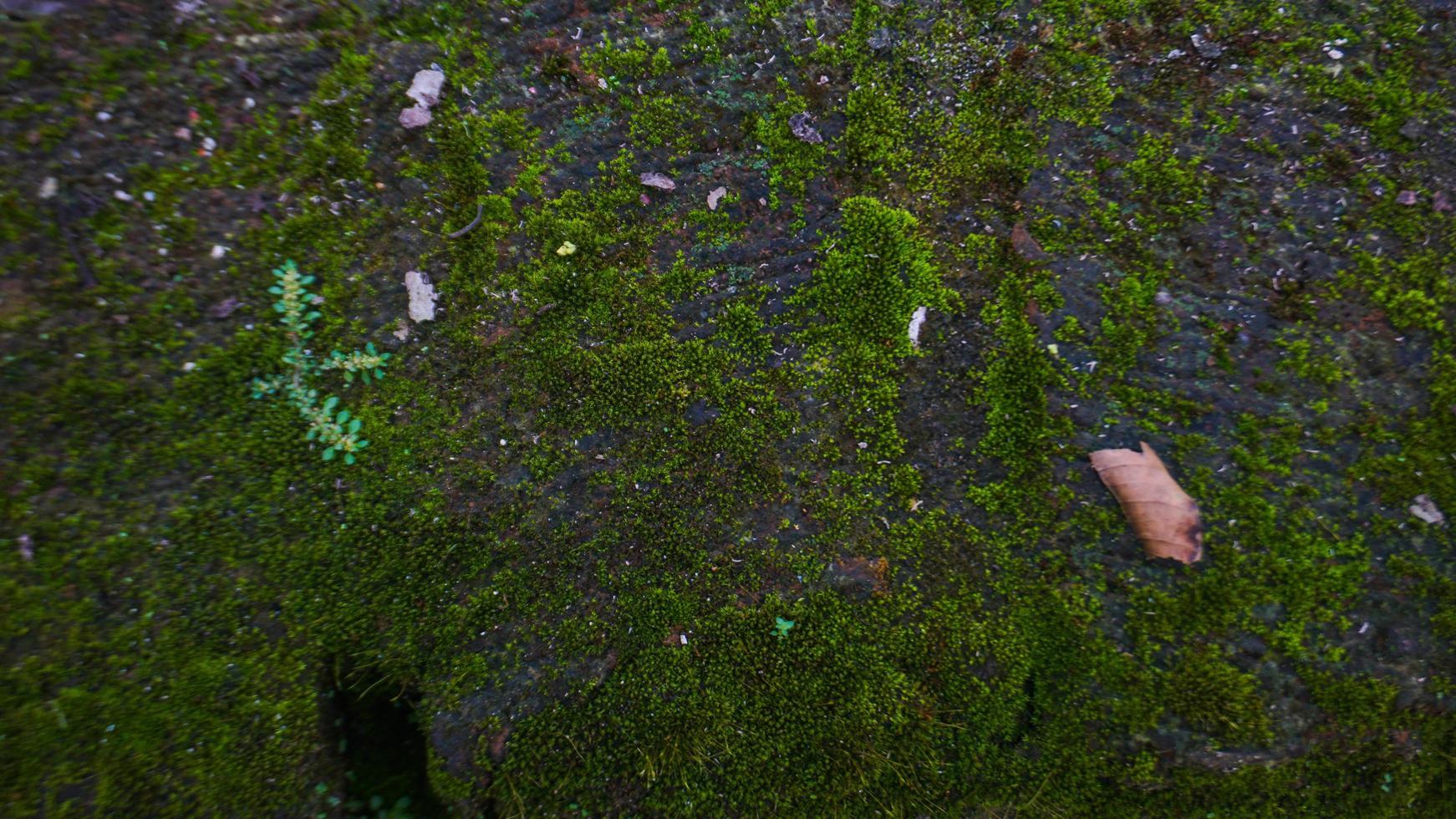 grön mossa på väggen foto