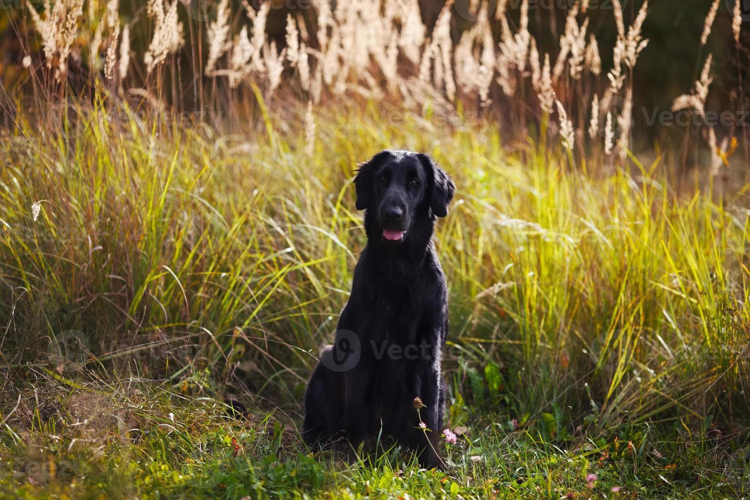 svart retriever sitter mitt i högt gräs foto