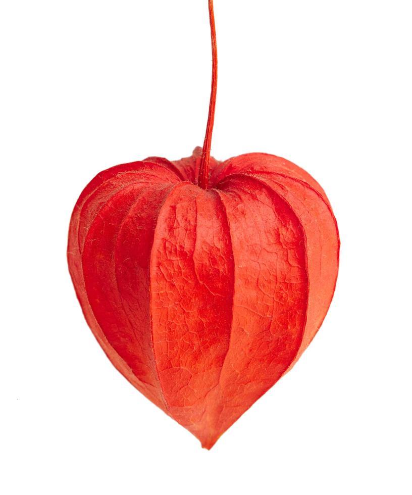 röd physalis blomma foto