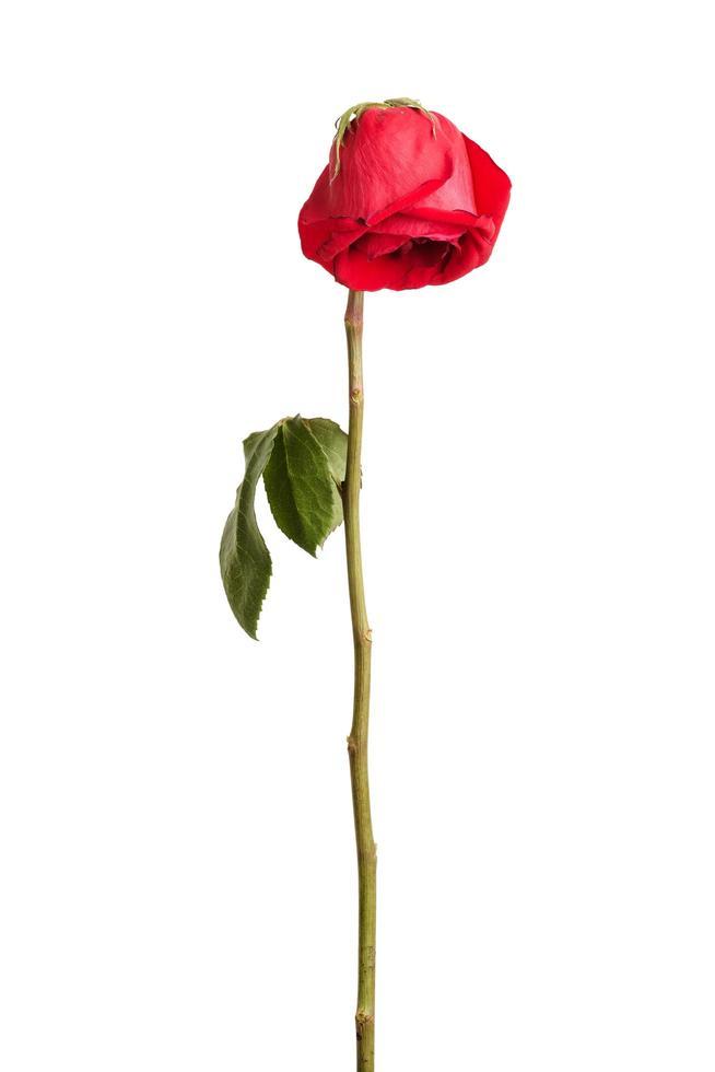 vissna röd ros foto