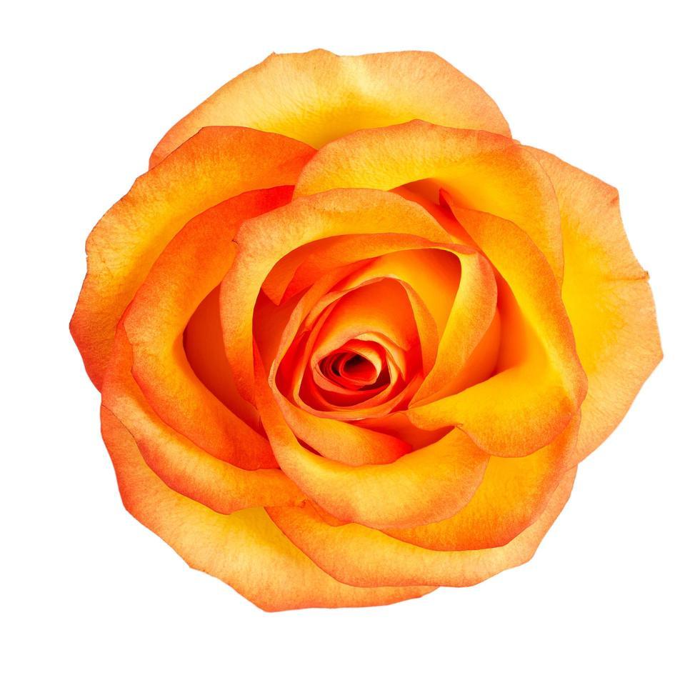 knopp av gula rosor foto