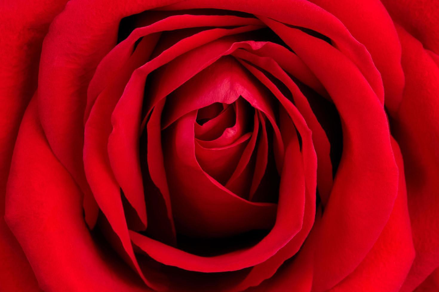 bakgrund från färsk röd ros foto
