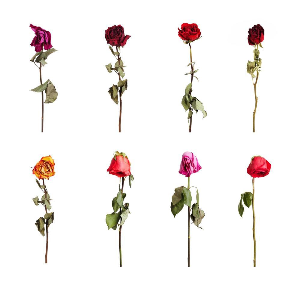 torkade rosor i olika färger foto