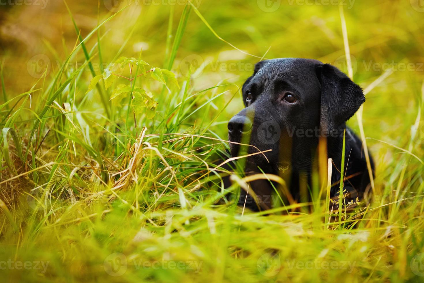 svart labrador gömmer sig i gräset foto