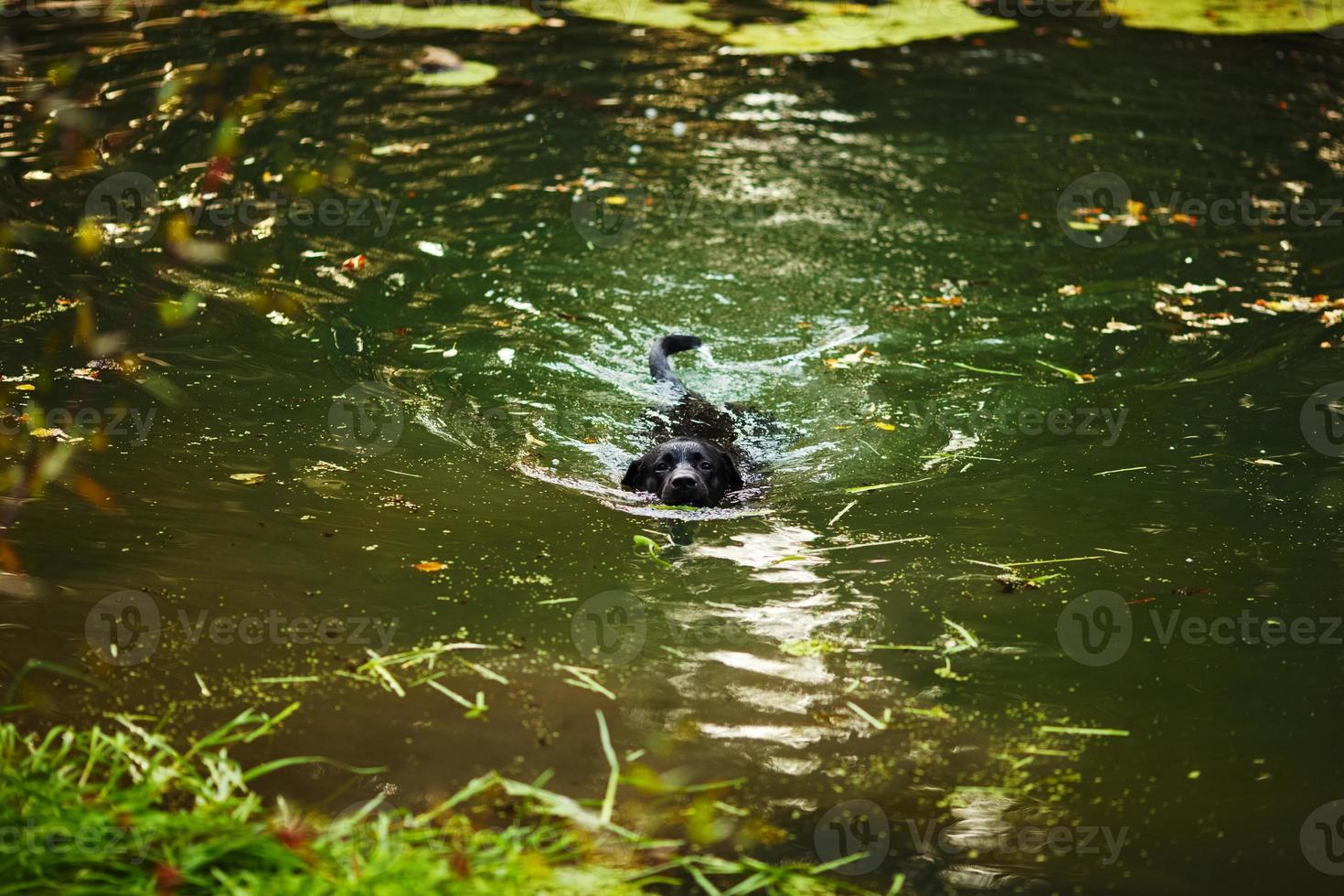 svart labrador som simmar i floden foto