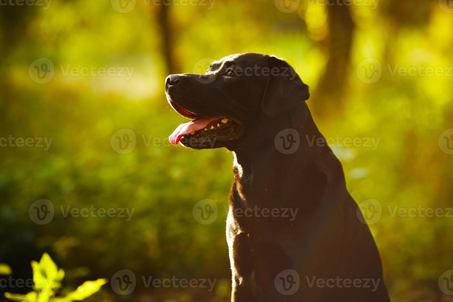 svart labrador som sitter i en solig skog foto