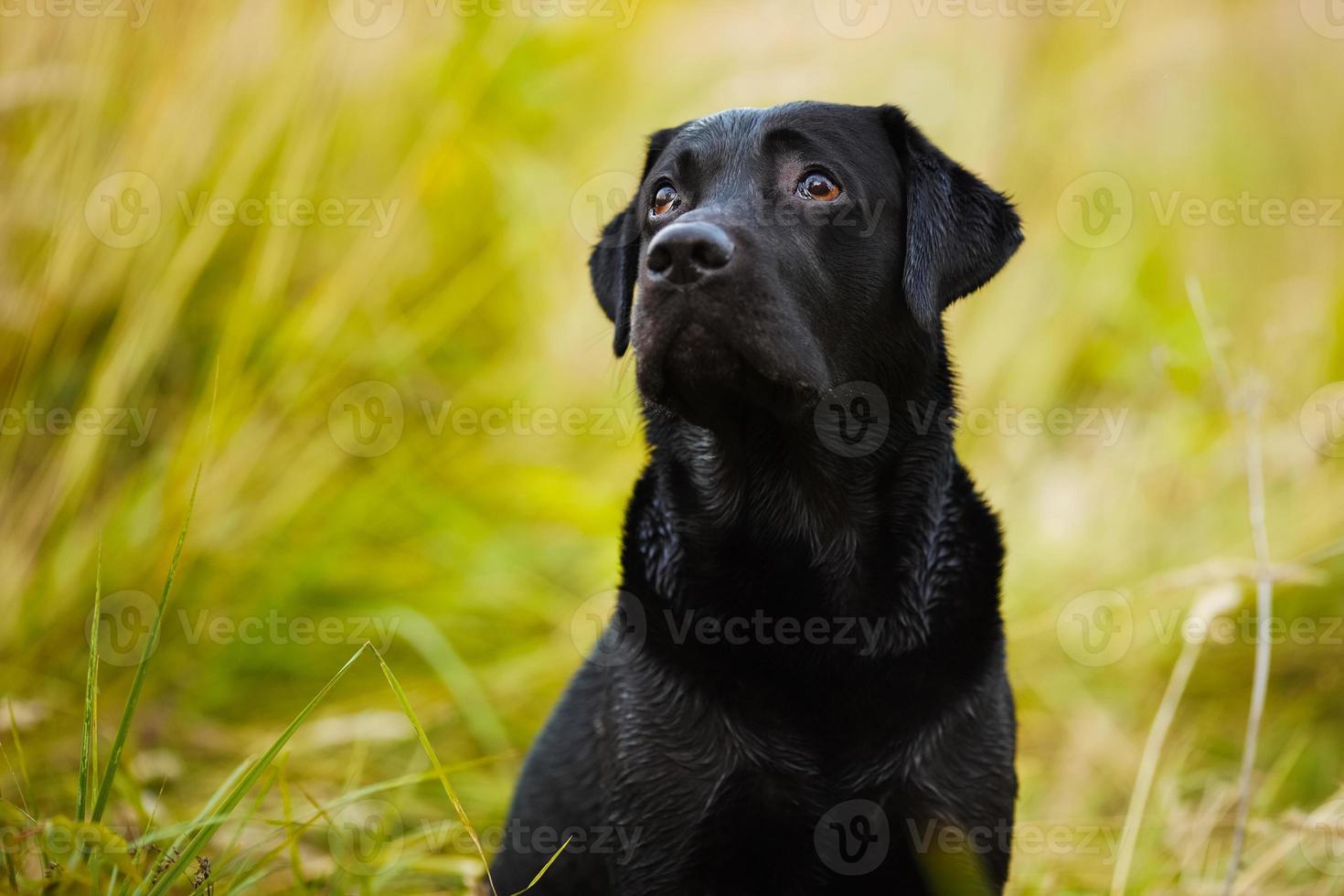 labrador tittar skuldfullt på sin herre foto