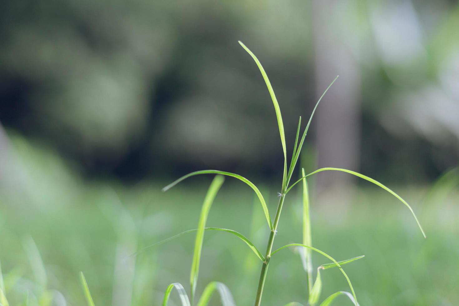 växande ungt gräs med färsk grön bakgrund foto