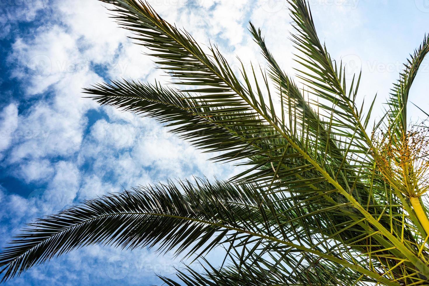 palmblad som en naturlig bakgrund foto