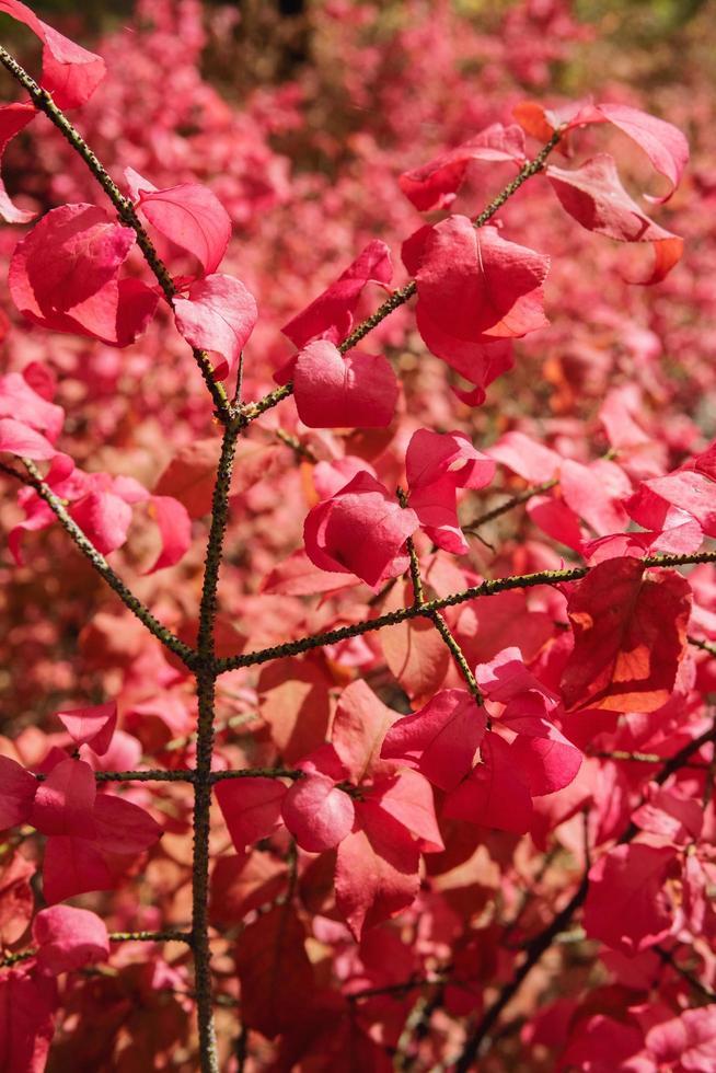 en buske med ljusröda löv under höstsäsongen. foto