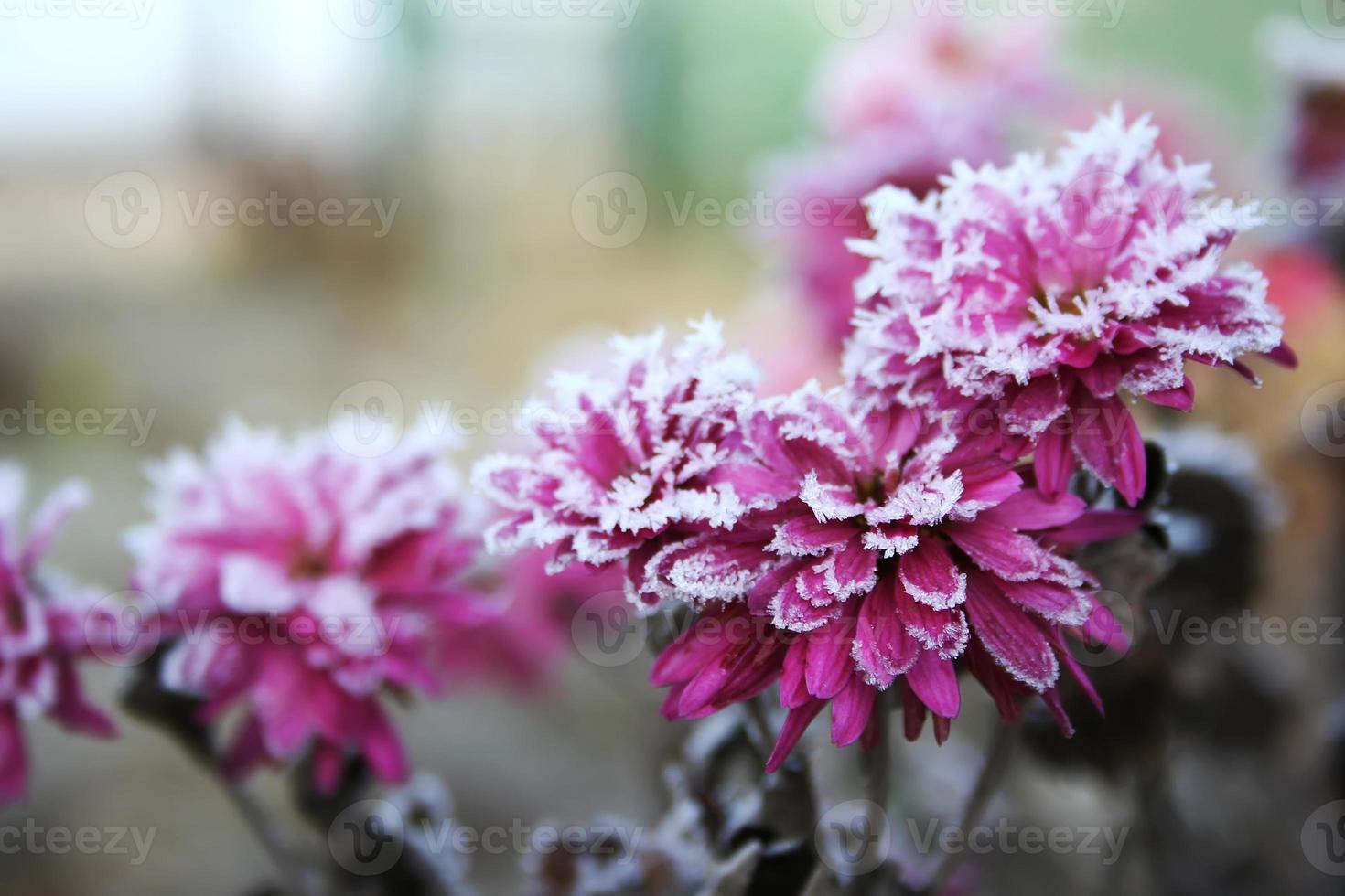 höstblommande blommor av rosa färg täckta med snö. frysta krysantemumblommor i trädgården. rosa blommor är täckta med frost foto