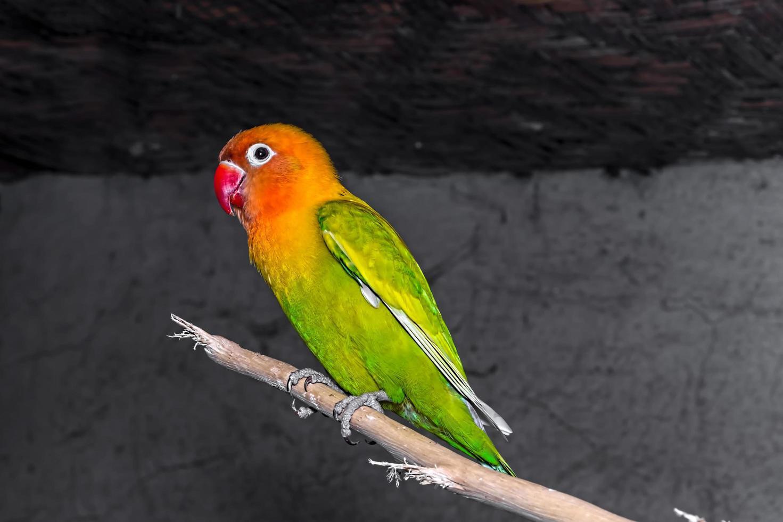 närbild av kärleksfåglar är färgglada och vackra foto