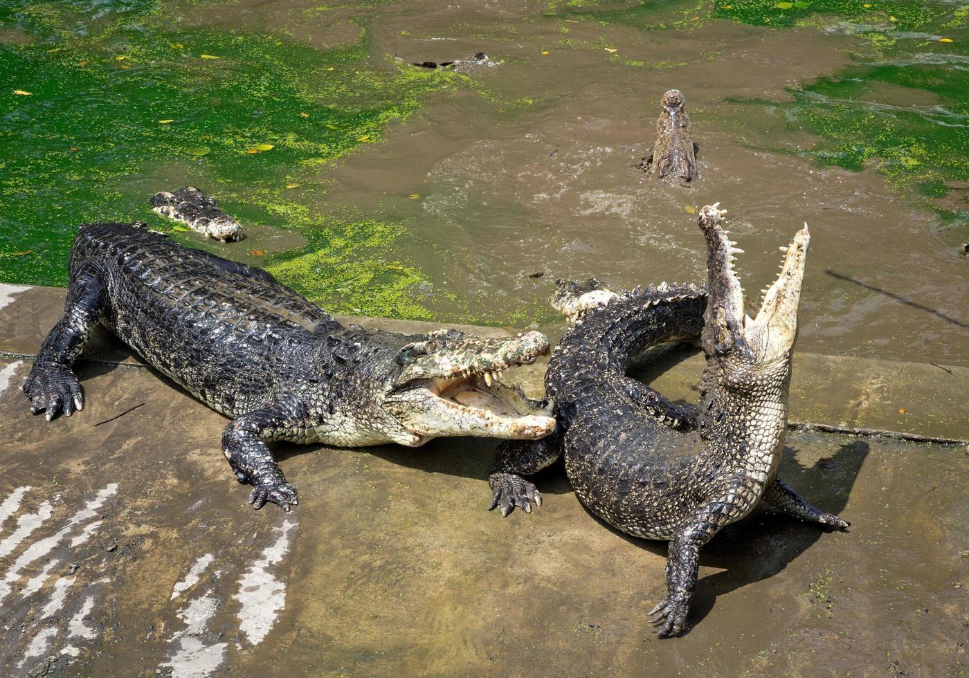 krokodilaktion på gården. foto